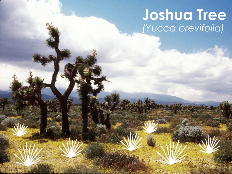 Image of Joshua Tree with Filter