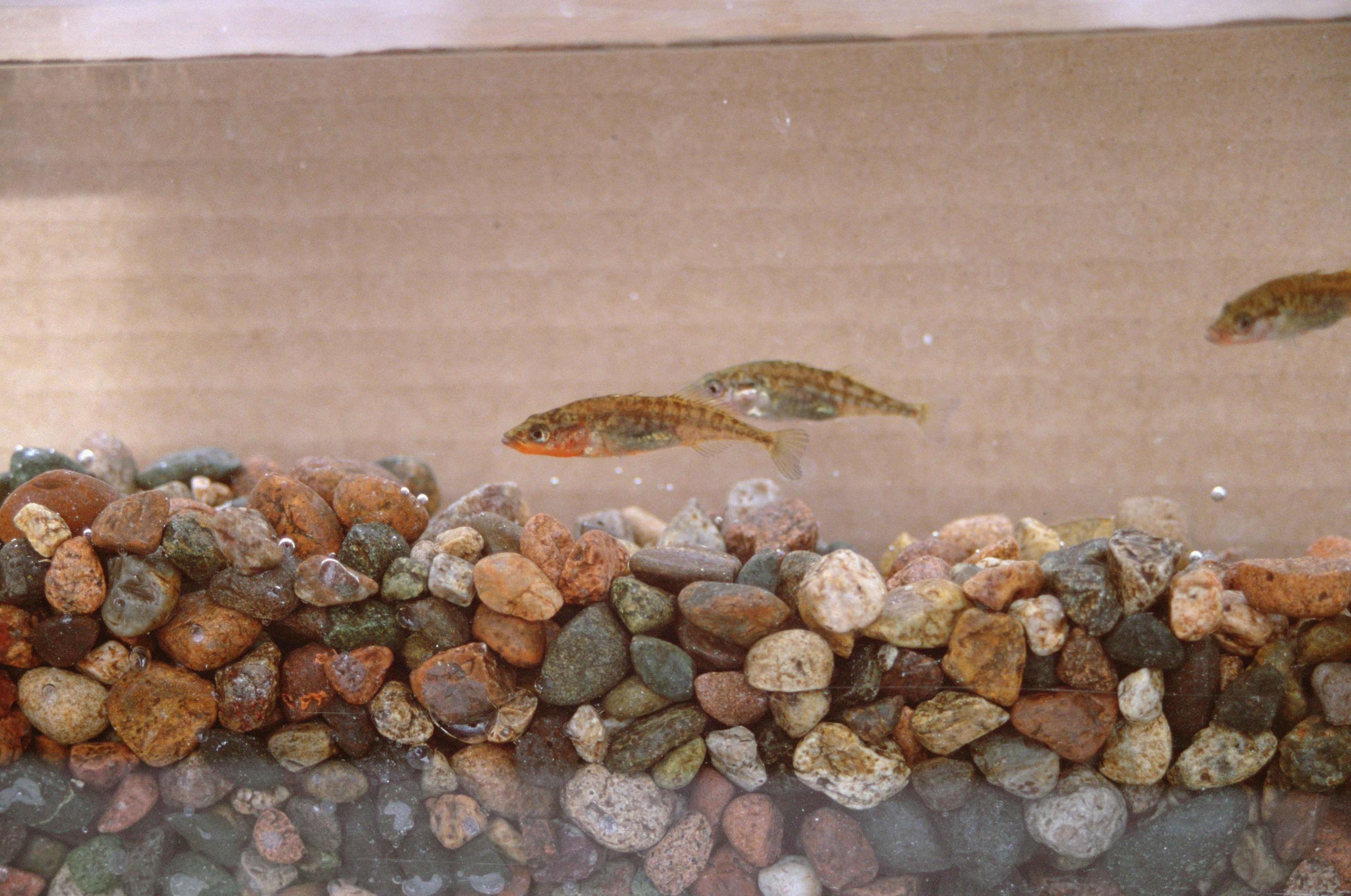 Picture of 3 Unarmored Three Spine Sticklebacks