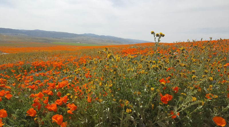 photo of poppies at the Antelope Valley California Poppy Reserve
