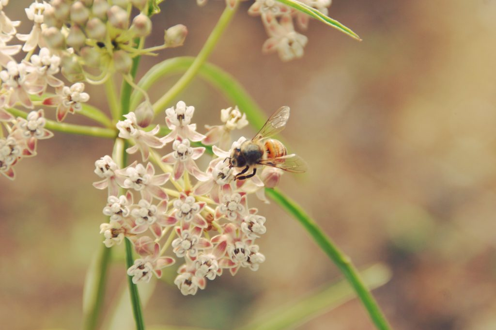 Picture of Narrow Leaved Milkweed and bee. Picture by J. Decruyenaere
