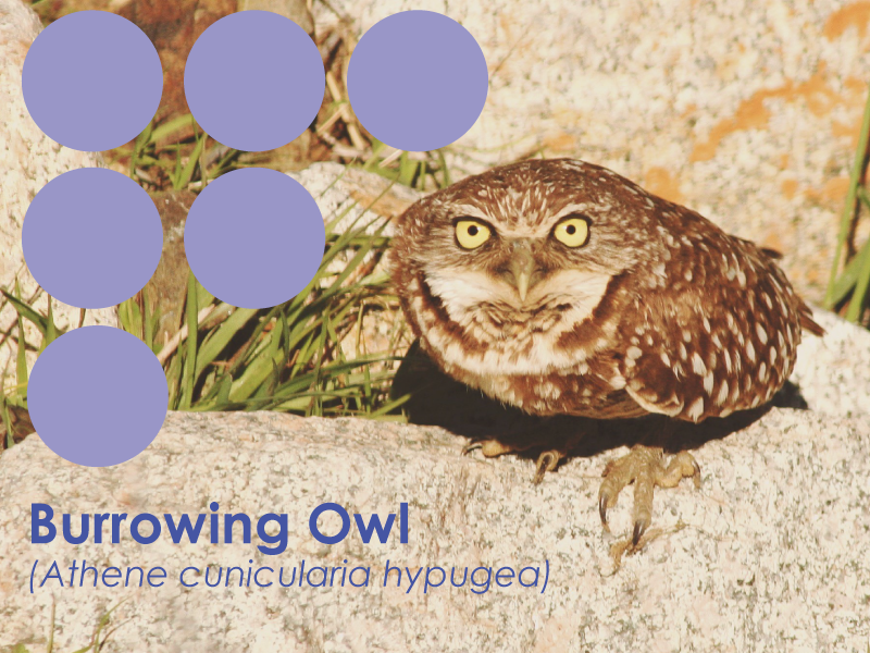 photo of a western burrowing owl