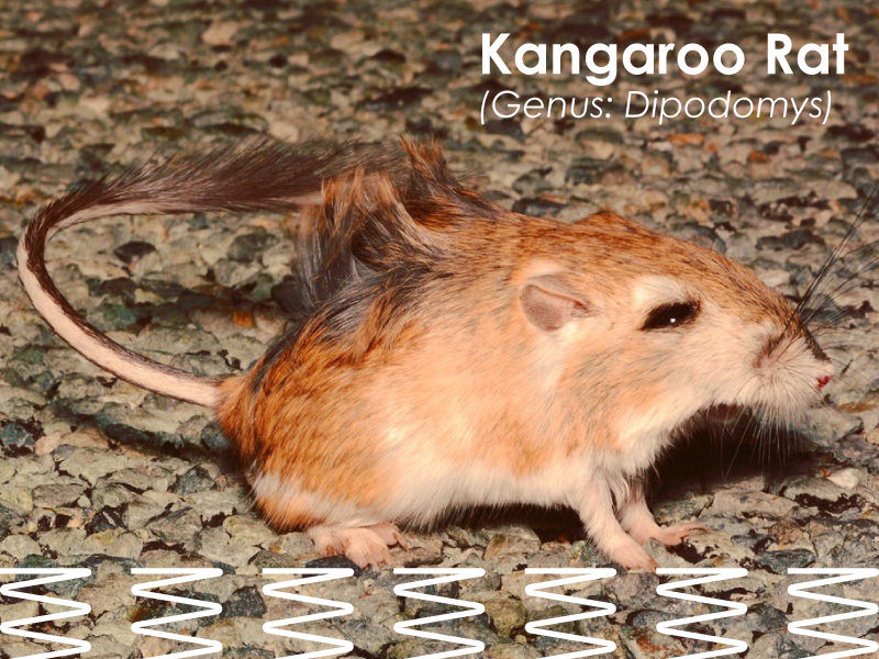 Picture of a Kangaroo Rat (Genus: Dipodomys) with a title with the name and genus and a graphic of springs in the lower half of the picture.