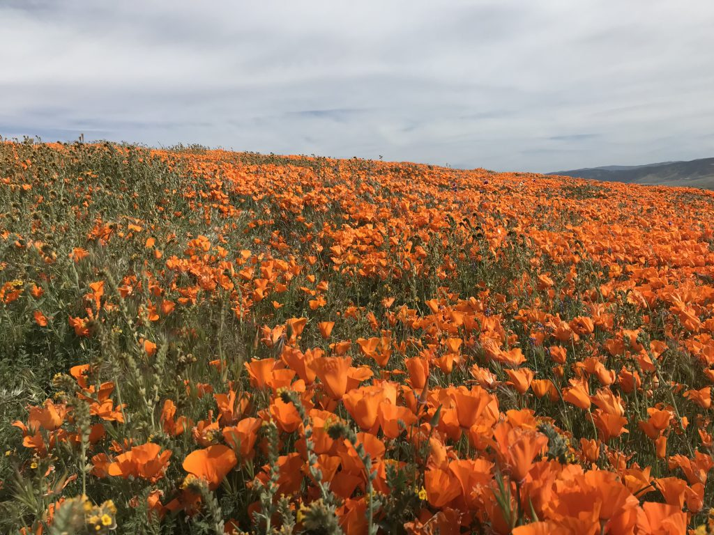 Picture of a field of California Poppies